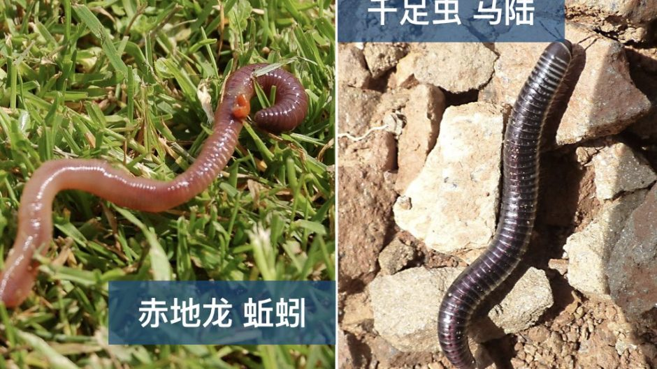 earthworm vs millipede