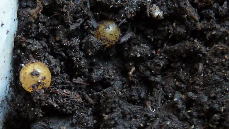 earthworm eggs and cocoons in soil