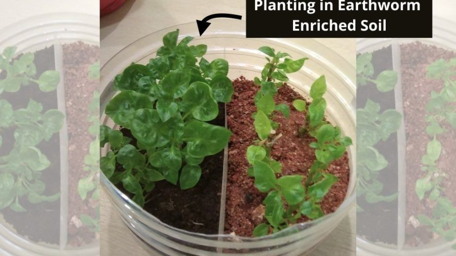 plants growing in vermicompost vs normal soil experiment