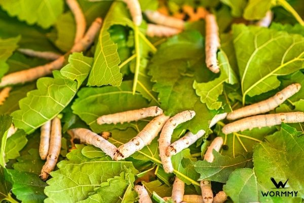 silk worms eating leaves