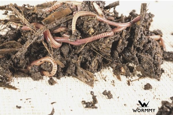 several red worms in the soil