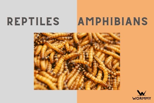 are worms reptiles or amphibians?