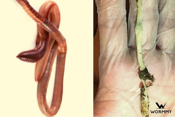 pinworms and tapeworms in rabbits